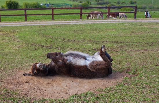 Mallow, Ierland: Cute Donkey scratching his back on the ground