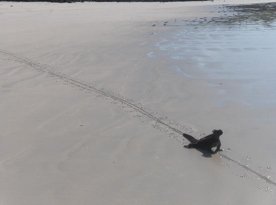 Galapagos Beach at Tortuga Bay : One of dozens of marine iguanas