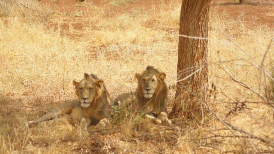 Rhino River Camp: Lions in Meru