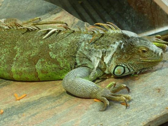 Nuremberg Zoo: iguana dai tubercoli
