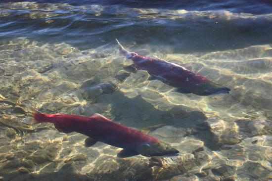 Adams River Salmon Run: Clear, clean water of the Adams River
