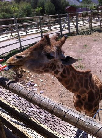 Murcia, España: feeding the giraffe