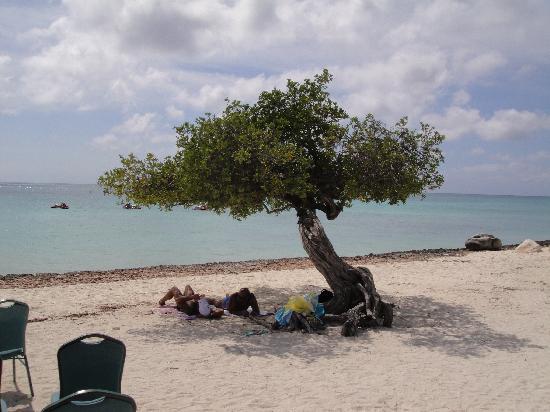 Eagle Beach: divi divi