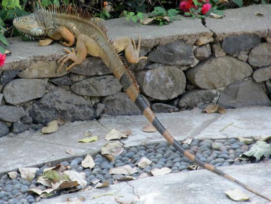 El Encanto: Iguana on the patio