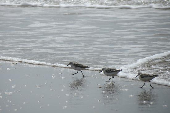 Shackleford Banks : sanderlings