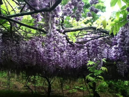 Usa, Japan: 珍しい品種!八重藤