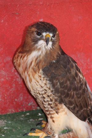 Sokolarski Raptor Centre : Harrier Hawk