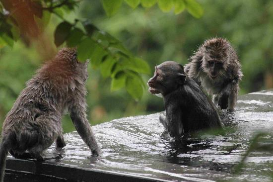 Hanging Gardens of Bali: Monkeys enjoying the private pool more than me!
