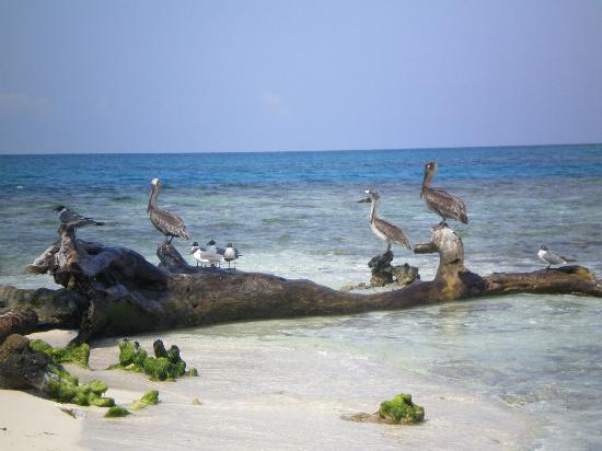 Hatchet Caye Resort: birds at the silk cayes
