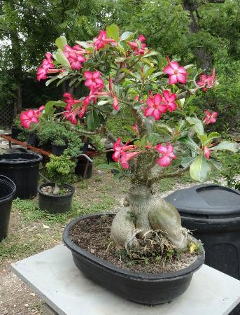 Central Texas Bonsai Exhibit At Jade Gardens (Wimberley): Top Tips Before  You Go (with Photos)   TripAdvisor