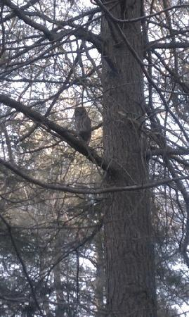Buttonwood Inn on Mount Surprise : Barred Owl along Buttonwood Inn Trail system