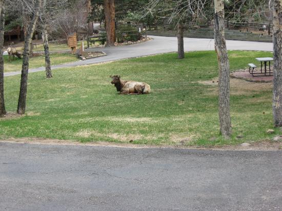 Streamside on Fall River: Elk on our lawn