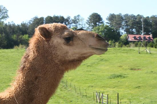 Ocoee Mist Farm Bed and Breakfast: Mel the camel