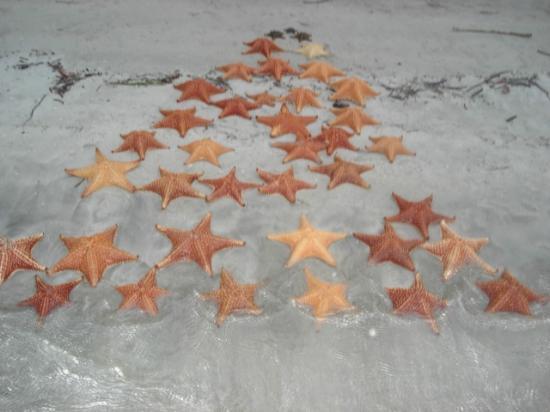 Bocas Town, Panama: Estrellas de Mar en Playas de Bocas del Toro, Panamá.