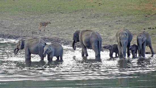 KTDC Lake Palace Thekkady: Elephants as seen from the veranda of room #44.