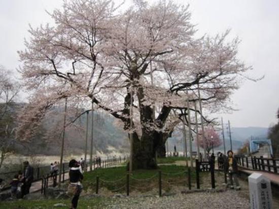 Shokawa-Zakura