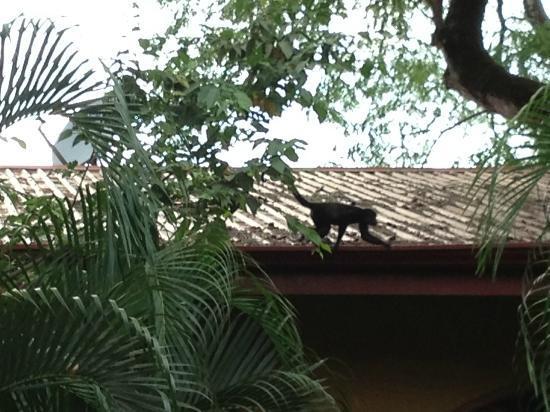 Giardino Tropicale: Howler Monkey