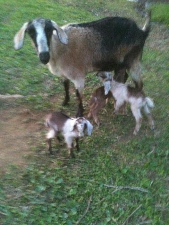 Vanquility Acres Inn: Goat with her babies