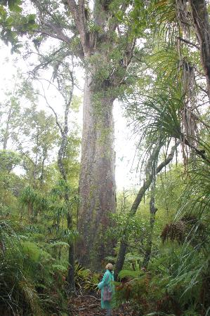 Adventure Puketi: Giant Kauri Tree