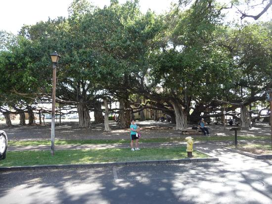 BEST WESTERN Pioneer Inn: The 2nd largest banyan tree in the world.  Across the street from the hotel.