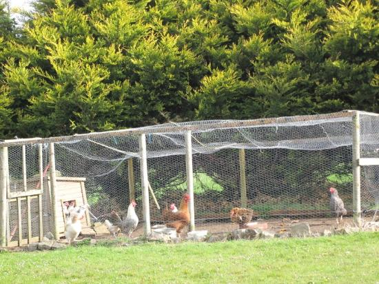 Seafield Farmhouse B&B: quiet chickens in back