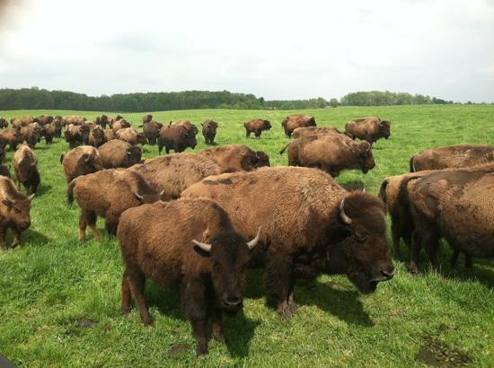 Fremont, IN: Buffalo herd