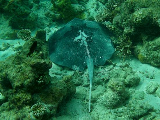 Embudu Village: Stingray on house reef
