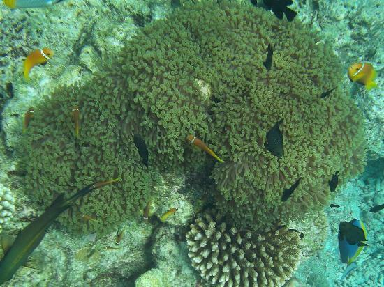 Embudu Village: Nemo - house reef