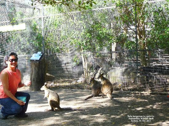 Colourful Trips - Day Tours: kangaroos in captivity, Featherdale Wildlife Park