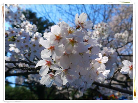 Yoyogi-Park: Sakura @ Yoyogi Garden