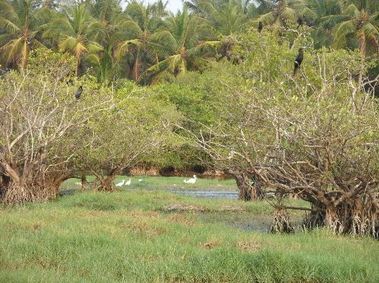 Kannur Beach House: The backwaters behind the Beach House. A birdwatchers paradise.