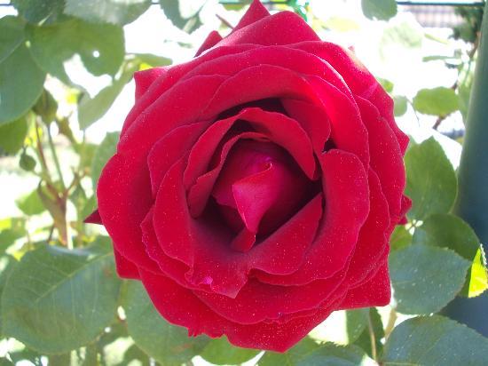 Roseto Comunale : rosa 1