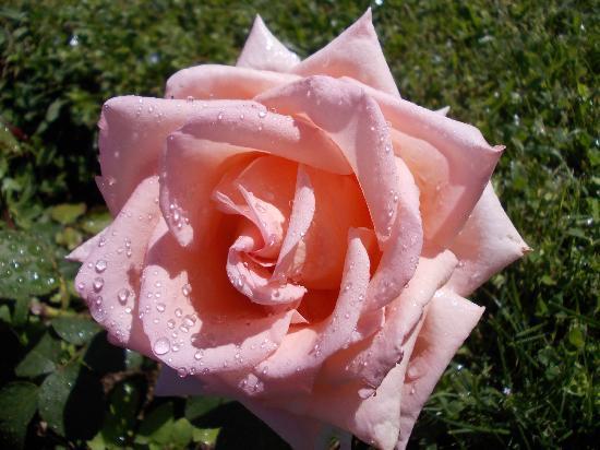 Roseto Comunale : rosa 10