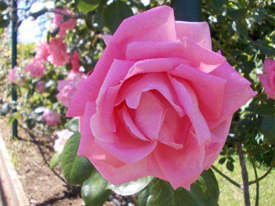 Roseto Comunale : rosa 2