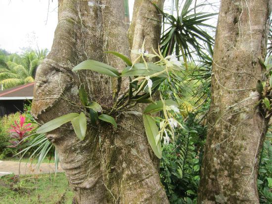 هيبيسكوس فالي إن: vacker orkide
