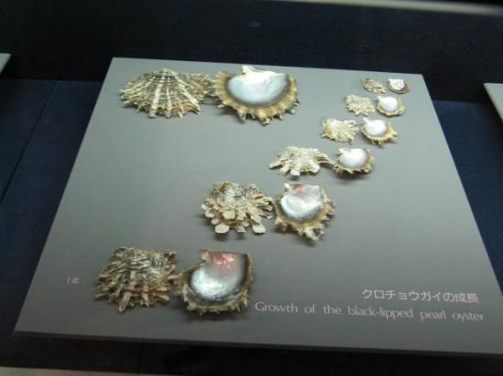 Mikimoto Pearl Island: Amostra de Conchas