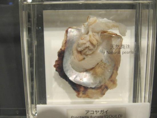 Mikimoto Pearl Island: Cultivo da inserção de bolinhas nas ostras
