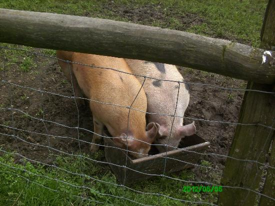 Wethersfield, UK: Piggies