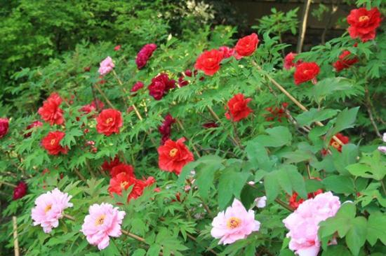 Tokugawa Garden : 徳川園の牡丹