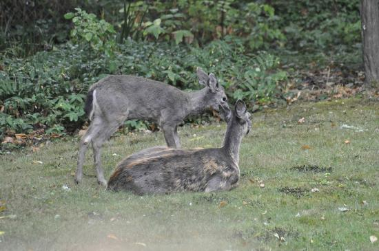 Steiger Haus: Deer in backyard