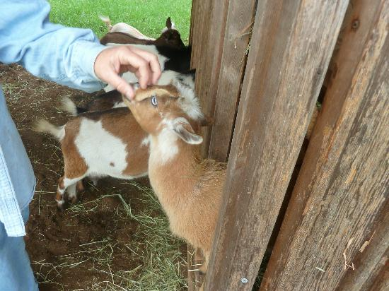 Silver Oaks Ranch: the sound of baby goats sounded like paradise song