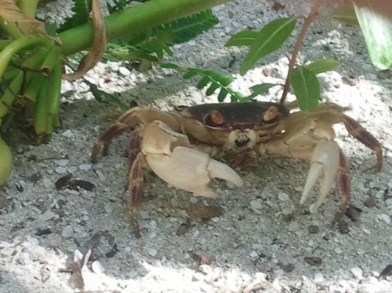 Robinson Club Maldives: Crab