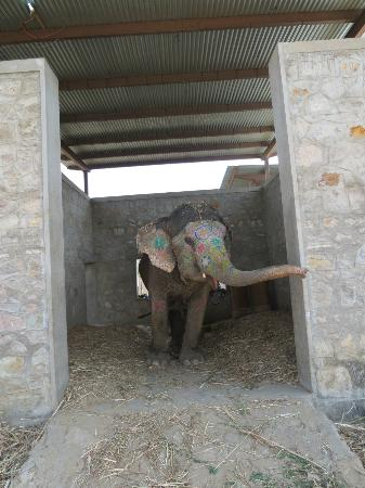 Jaipur, India: Another elephant in a stable