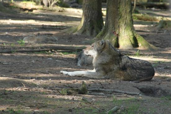 Wildpark Poing: un loup..