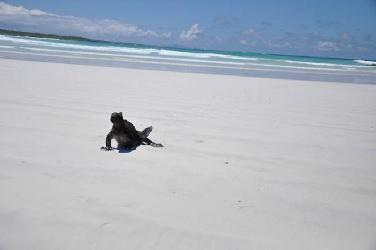 Galapagos Beach at Tortuga Bay : One of the many iguanas sun bathing in Tortuga Bay