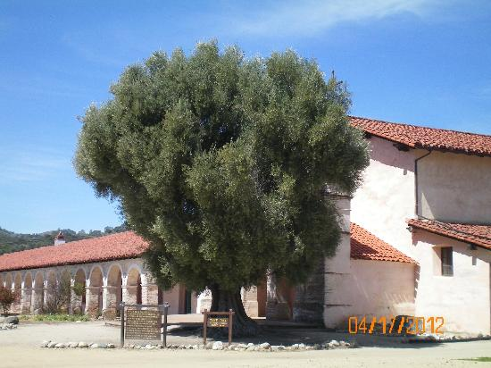 Mission San Antonio de Padua: Olive Tree planted 1836 by Padres