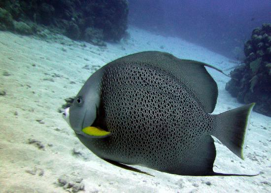 Mayan Divers: Gray Angelfish
