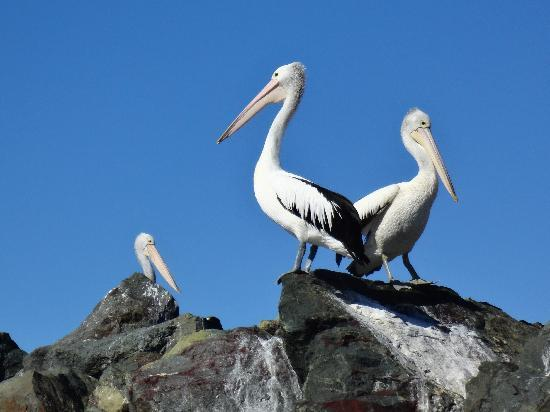 Snug Cove Bed and Breakfast: Pelicans