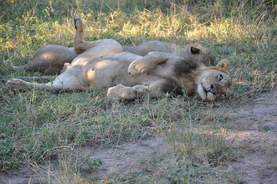 Mfuwe Lodge - The Bushcamp Company : Even the Lions over-eat here