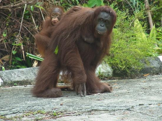 The Kebun: Orangutangs